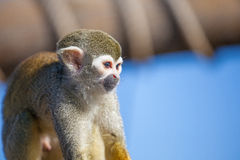 Squirrel Monkey on Branch and blue sky Royalty Free Stock Image