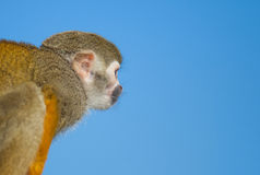 Squirrel Monkey on Branch and blue sky Stock Image