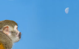 Squirrel Monkey on Branch and blue sky Stock Photography