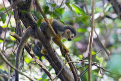 Squirrel monkey in a branch in Costa Rica stock photo