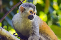 Squirrel monkey in a branch in Costa Rica royalty free stock image