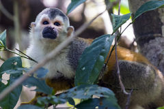 Squirrel monkey in a branch in Costa Rica royalty free stock images