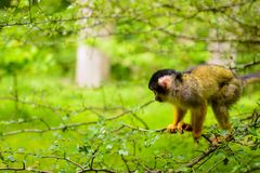 Squirrel monkey on a branch stock image