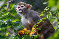 Squirrel monkey in the branch. Tree stock photography