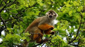 Squirrel monkey in branches of tree