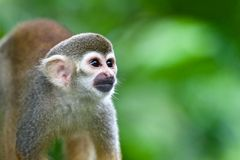 Squirrel monkey. Bright-eyed squirrel monkey in a forest Stock Photography