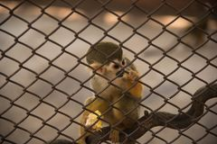 Squirrel monkey in the cage. N Royalty Free Stock Photography