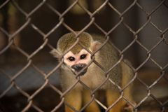 Squirrel monkey in the cage.  Stock Photography