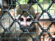 Squirrel monkey in the cage Stock Photography