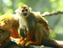 Squirrel Monkey carrying her baby Stock Images