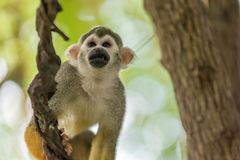 Squirrel monkey climbing in a treetop royalty free stock photo