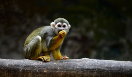 Squirrel  Monkey Stock Images