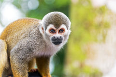 Squirrel Monkey Closeup Royalty Free Stock Photo