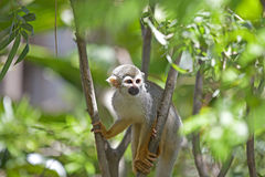 Squirrel Monkey Stock Image