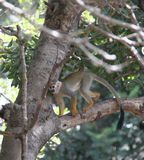Squirrel Monkey Stock Photos