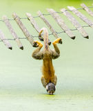 Squirrel monkey - drinking water up-side down royalty free stock photos