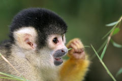 Squirrel monkey eating Royalty Free Stock Images