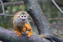 Squirrel Monkey eating. A common Squirrel Monkey on a tree limb enjoying a piece of fresh fruit Stock Photography