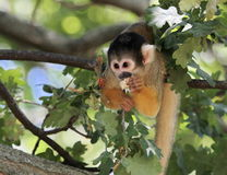 Squirrel monkey eating Royalty Free Stock Photography