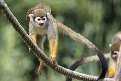 Squirrel monkey family Royalty Free Stock Photo