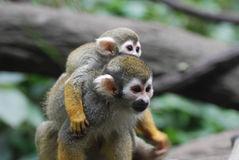 Squirrel Monkey Family with a Baby and Mom stock images