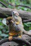 Squirrel Monkey Family with a Mom and Baby royalty free stock photography