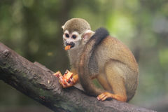 Squirrel Monkey feeding Royalty Free Stock Image