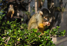 Squirrel Monkey Feeding Stock Photo