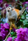 The squirrel monkey and flowers Stock Photos