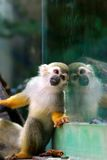 Squirrel Monkey in front of Window Royalty Free Stock Photo