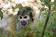 Squirrel monkey. A Squirrel monkey between green leaves Stock Photo
