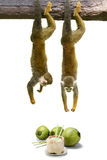 Squirrel monkey hanging above coconut. Stock Image