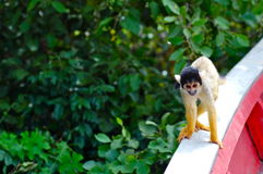 Squirrel monkey interested in our tour boat. Cute Squirrel Monkey (Saimiri) Sub family: (saimirlinae)  in Rurrenabaque Jungle Tour Royalty Free Stock Images