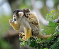 Squirrel monkey with its baby. Black-capped squirrel monkey sitting on tree branch with its cute little baby with forest in background royalty free stock photos