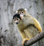 Squirrel monkey with its cute little baby. Black-capped squirrel monkey with its cute little baby sits on a rope in a zoo royalty free stock photo