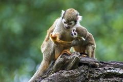 Squirrel monkey with its cute little baby Royalty Free Stock Photo