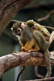 Squirrel monkey with little baby Royalty Free Stock Photo