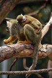 Squirrel monkey with little baby Royalty Free Stock Photos
