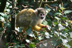 A squirrel monkey lives in a zoo in France Royalty Free Stock Images