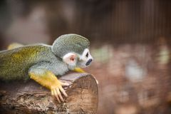 Squirrel monkey lying on wood timber nature background. Squirrel monkey lying on wood timber nature blur background royalty free stock photography