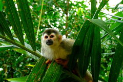 Squirrel Monkey in Manuel Antonio National Park, C stock photo
