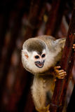 Squirrel monkey with mouth open Royalty Free Stock Images
