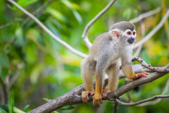 Squirrel monkey Stock Photos