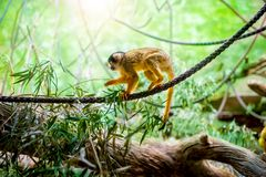 Squirrel monkey in natural habitat, rainforest and jungle Royalty Free Stock Photography