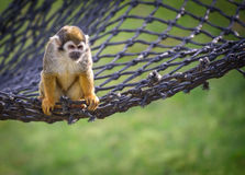 Squirrel monkey on a net Stock Image