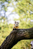 Squirrel Monkey. With offspring on the tree Royalty Free Stock Photography