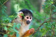 Squirrel Monkey Peeking Bewteen the Trees Stock Images