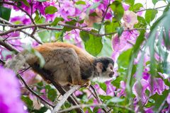 The squirrel monkey and pink flowers.The common squirrel monkey (Saimiri sciureus) Stock Photography