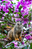 The squirrel monkey and pink flowers. The squirrel monkey saimiri sits in a magnificent environment of colors. Stock Image