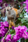 The squirrel monkey and pink flowers. The squirrel monkey saimiri sits in a magnificent environment of colors. Royalty Free Stock Photos